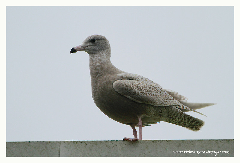 1st-winter Glaucous Gull @ Dunmore east ,Jan 17, 2013