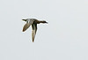 Male Garganey in flight @ Ballinlough,May 26,2013