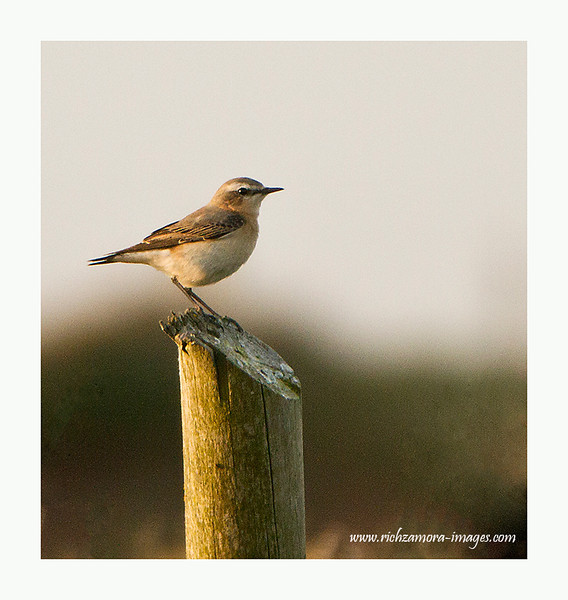 young wheatear(migrant) in Brownstown head waterford 2011