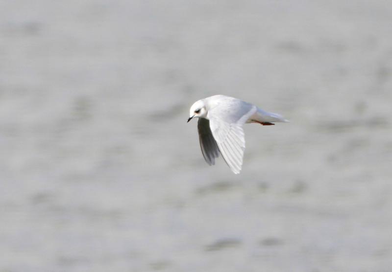 Ross's Gull @ Lady's Island Lake,Co.Wexford.February 20,2014