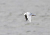 Ross's Gull @ Lady's Island Lake,Co.Wexford.February 20,2014
