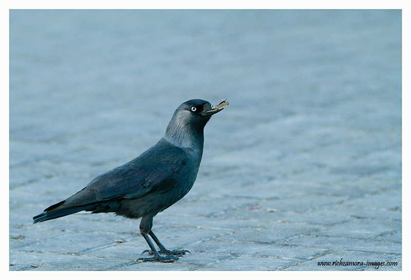 Jackdaw @ Dunmore east harbour 2012
