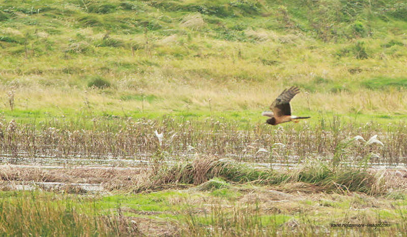 Northern Harrier @ Tacumshin lake