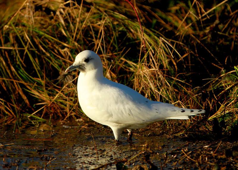 Ivory gull January 9,2014