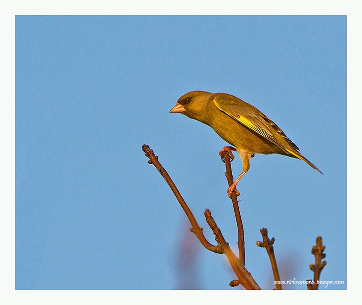 Green finch @ Ballymacaw,Waterford,2012