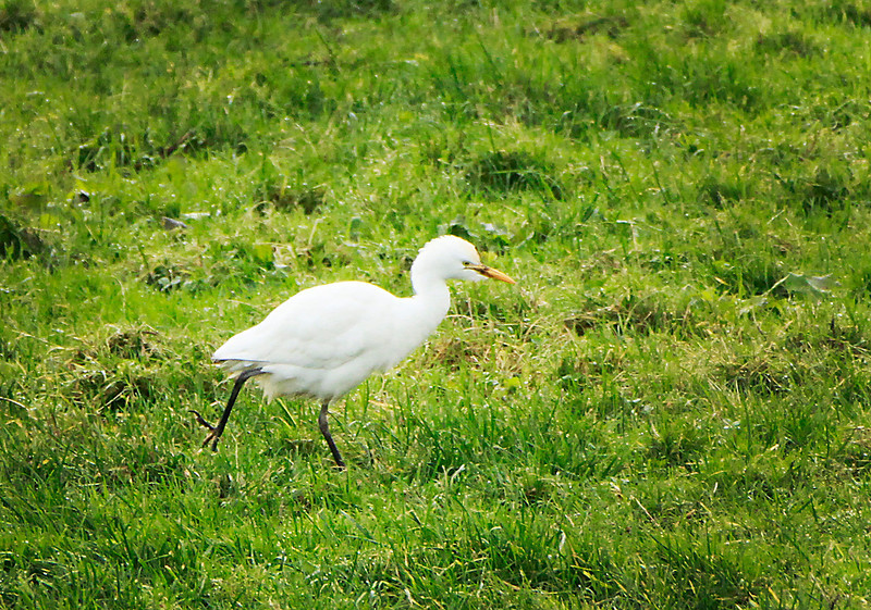 Cattle Egret @ Bunmahon.Co.Waterford December 26,2013