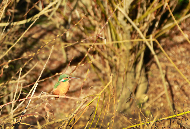 Kingfisher female @ Annestown Co. Waterford December 4,2013