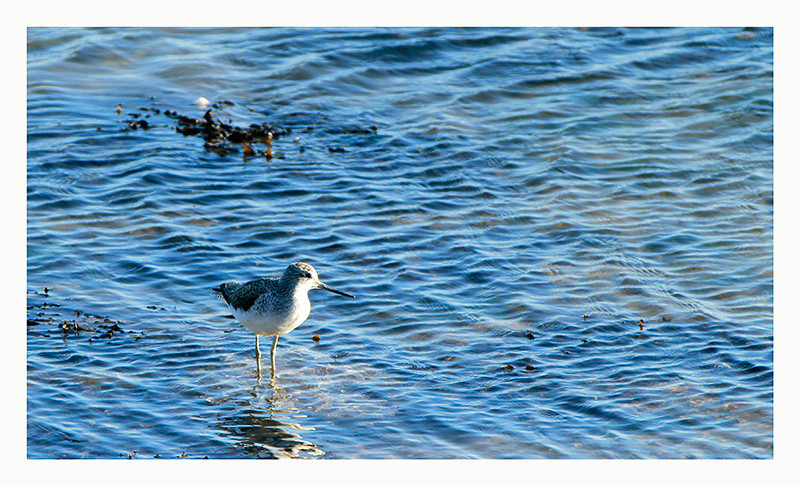 Greenshank @ Dungarvan harbour,2012