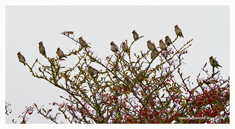 Waxwings @ tramore Dec 31,2012
