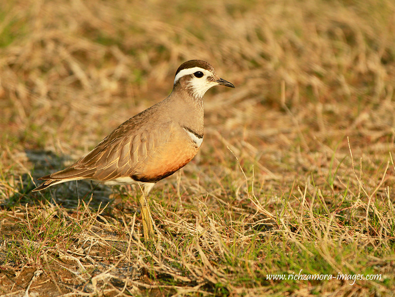 Dotterel Female @ Tacumshin lake,June 8,2013