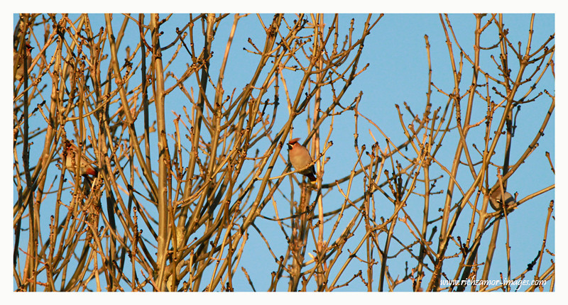 Waxwings @ Balinacourty,Waterford 2012