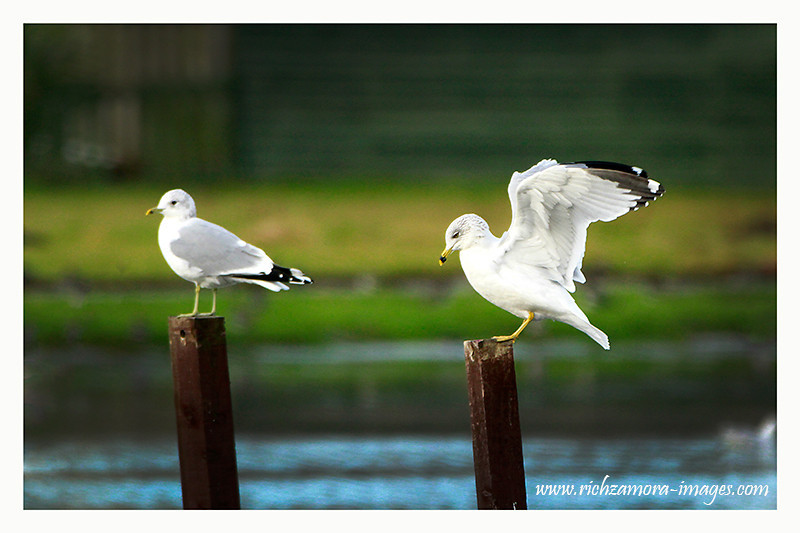 Ring-Billed Gull @ boating lake tramore,Dec 29,2012
