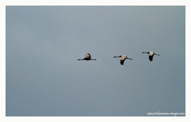 Crane @ Tacumshin lake 2012
