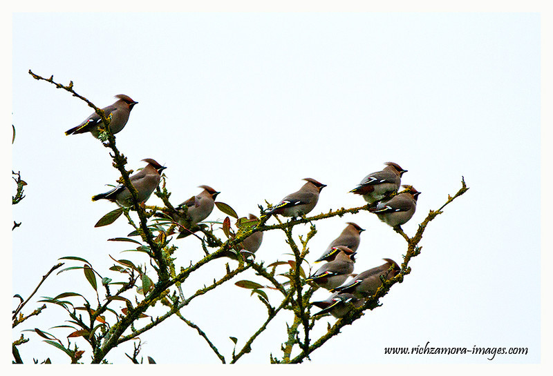 Waxwing @ Tramore town,Dec 30 2012