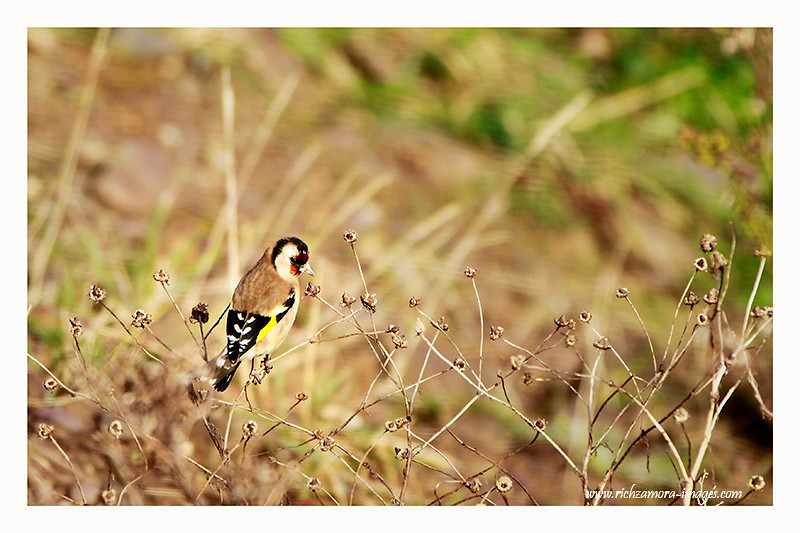 Goldfinch @ Ballinacourty,Waterford