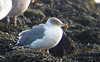 Azorean Type Yellow-legged Gull,@ Wexford Harbour,Co.Wexford.January 22,2014<br /> <br /> Phonescope(Samsung Galaxy S4)