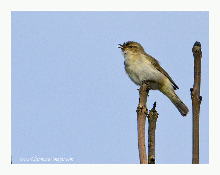 Singing willow warbler @ Boatstrand,Waterford