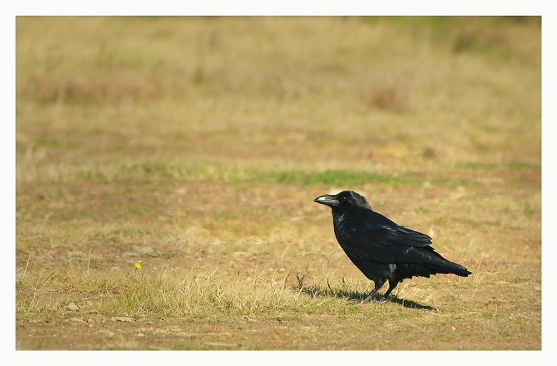 Raven @ Tramore backstrand,2012