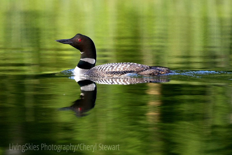 Common Loon,  Madge Lake, SK . Duck Mountain Provincial Park