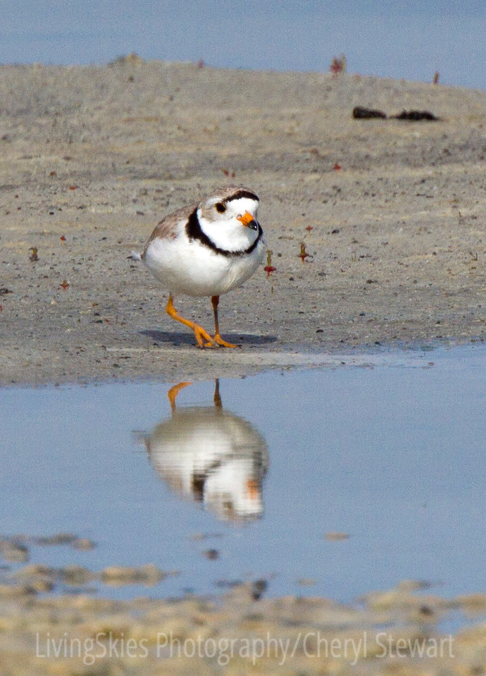 Endangered Piping Plover, Chaplin Sask