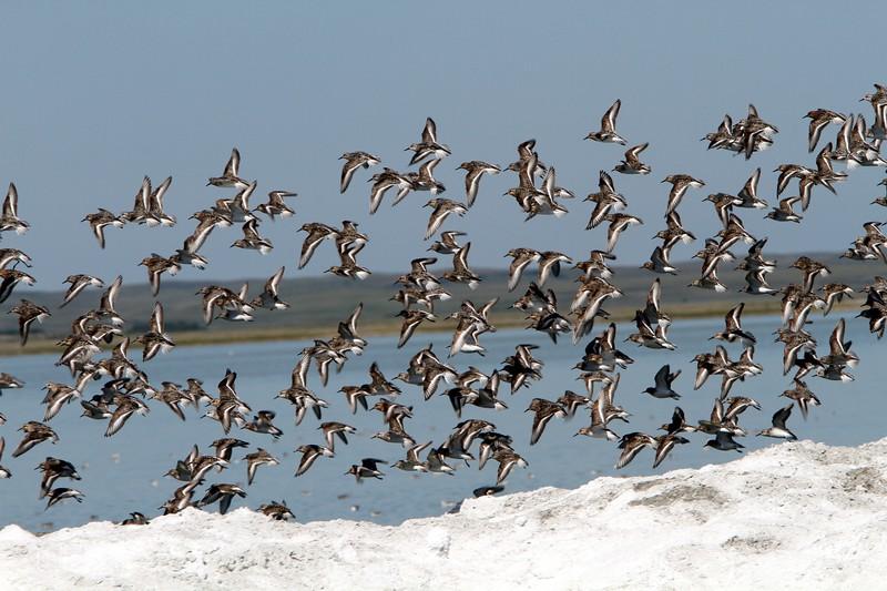 Shorebirds on Chaplin Lake, Chaplin Sask