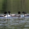 """Madge Lake SK, Common Loon,.....<br />     """"It's a marvelous night for a Loon dance"""""""