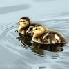 young ones out for a swim..