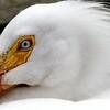 Pelican portrait, Wascana Lake