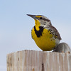Meadowlark, behind my house in Regina SK