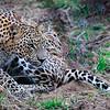 Leopard in brush, Yala