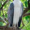 White-bellied Sea Eagle, Minneriya National Park