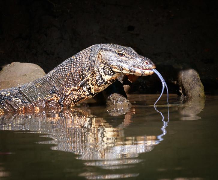 Water Monitor, Wacwella River