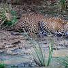 Leopard drinking at pool, Yala NationalPark