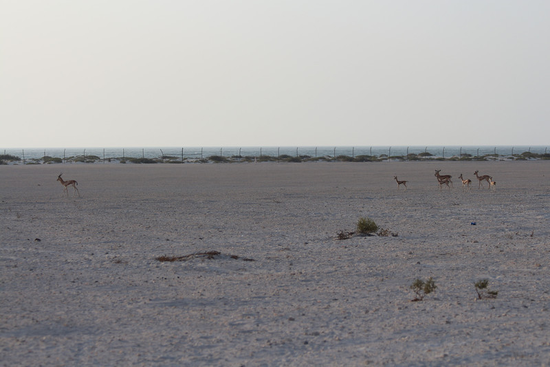 IMG_7114_Arabian Oryx_006