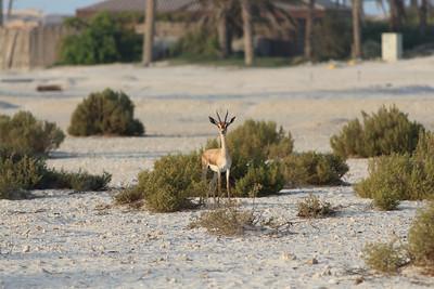 IMG_7122_Arabian Oryx_014