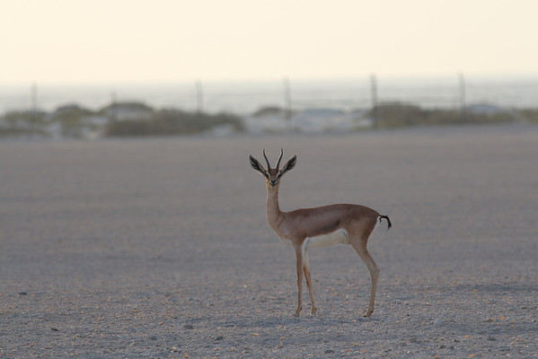 IMG_7132_Arabian Oryx_024