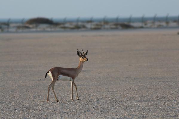 IMG_7144_Arabian Oryx_035