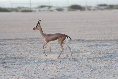 IMG_7129_Arabian Oryx_021