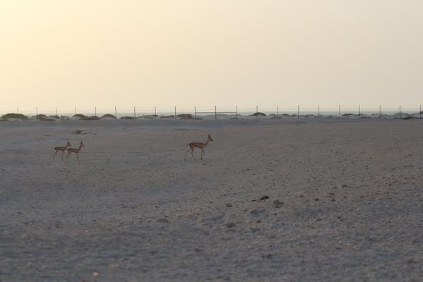 IMG_7140_Arabian Oryx_031