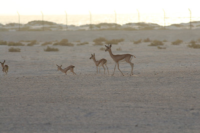 IMG_7134_Arabian Oryx_026