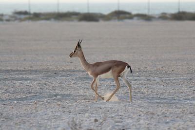 IMG_7128_Arabian Oryx_020