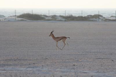 IMG_7117_Arabian Oryx_009