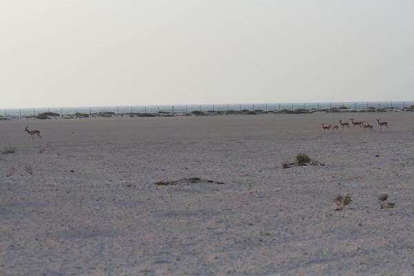 IMG_7115_Arabian Oryx_007