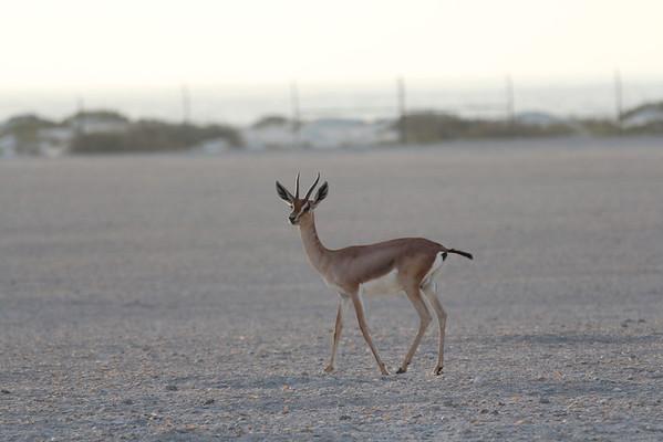 IMG_7131_Arabian Oryx_023