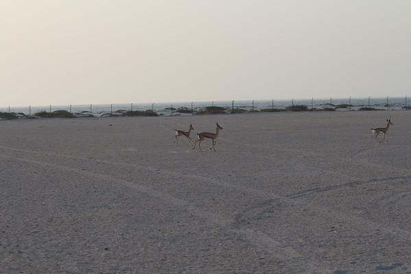 IMG_7141_Arabian Oryx_032