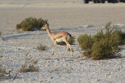 IMG_7123_Arabian Oryx_015