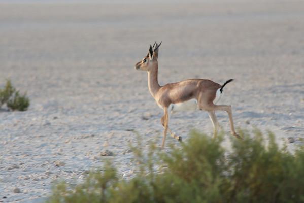 IMG_7126_Arabian Oryx_018