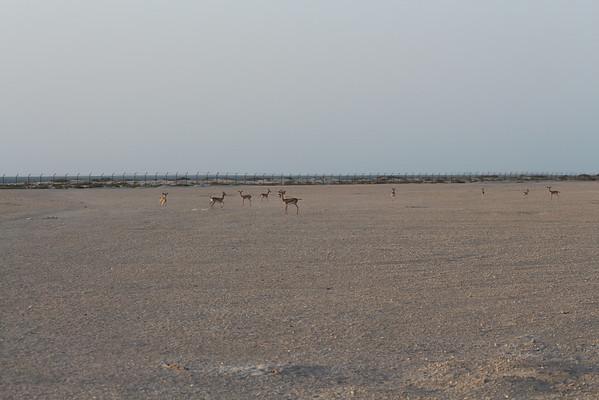 IMG_7147_Arabian Oryx_038