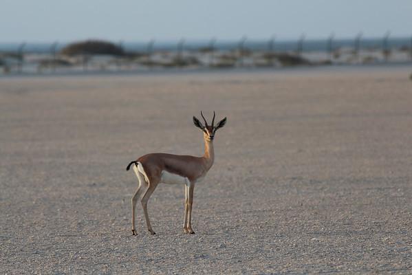 IMG_7145_Arabian Oryx_036