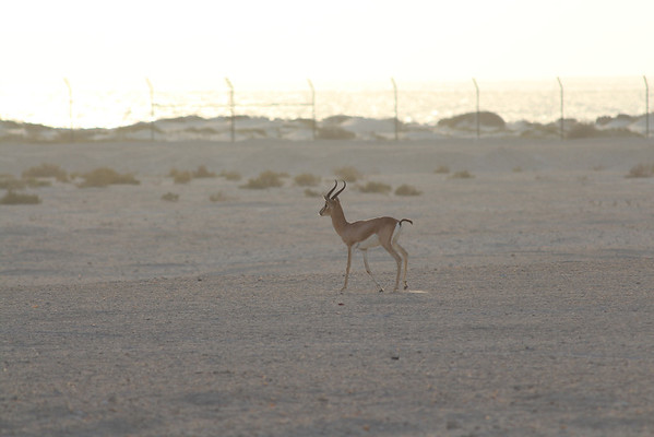 IMG_7120_Arabian Oryx_012